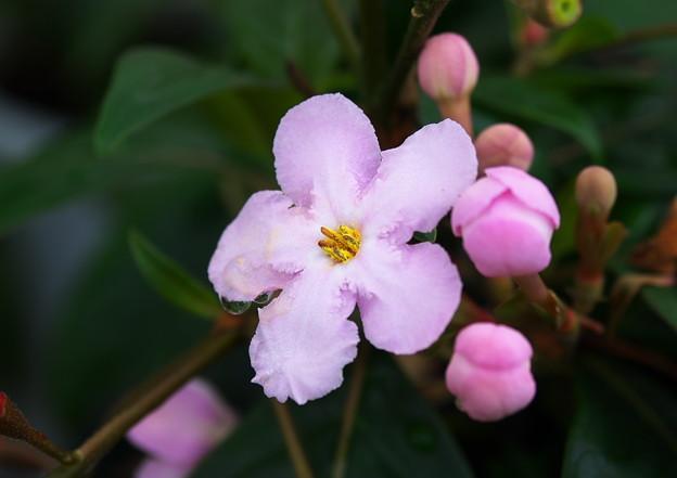 ジュンテンドーのニオイ桜