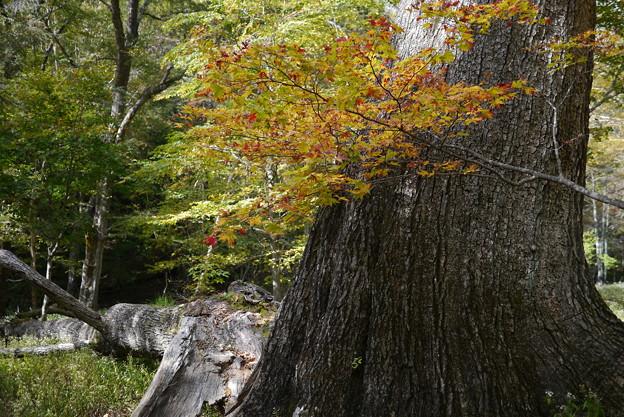巨木と倒木