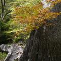 Photos: 巨木と倒木