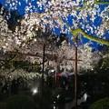 Photos: 雨の枝垂桜