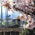 Photos: 北国の桜