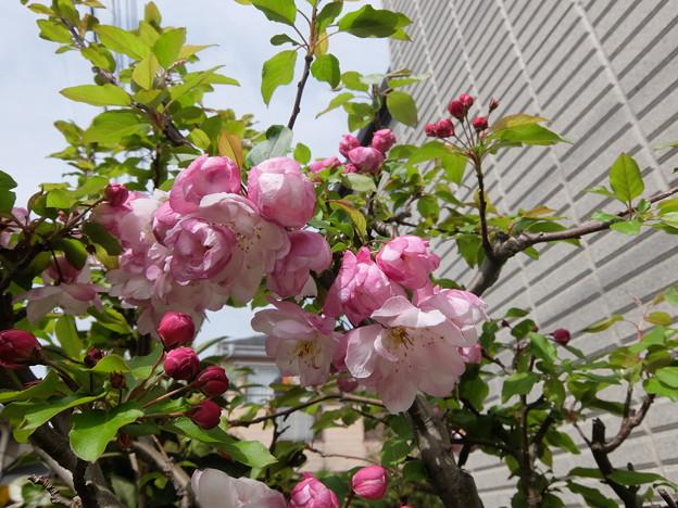 大輪八重咲ハナカイドウ