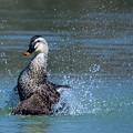 カルガモの水上ダンス(2)