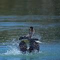 カルガモの水上ダンス(3)