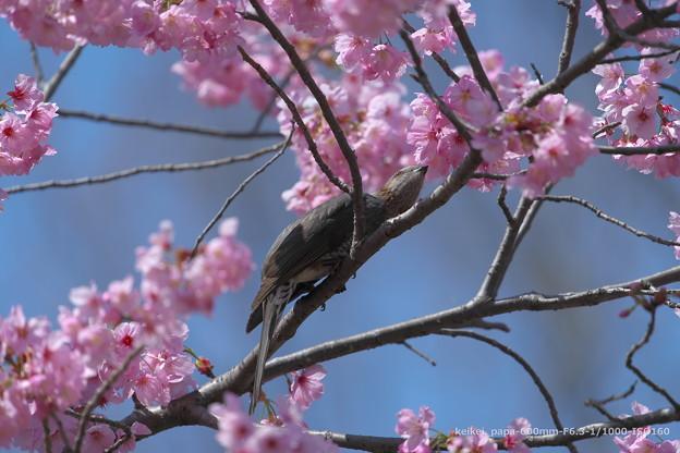 陽光桜とヒヨドリ
