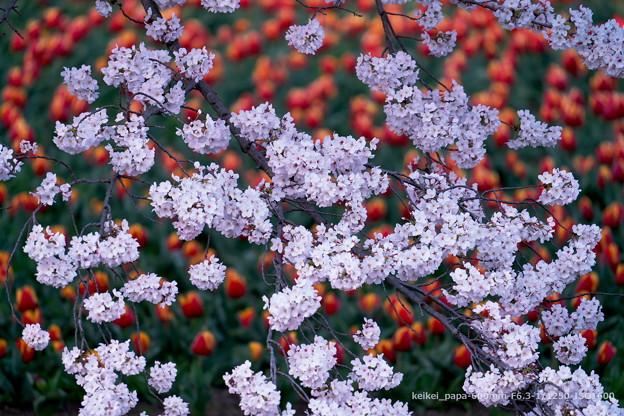 満開の桜、チューリップをバックに