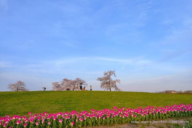 チューリップと桜の丘【スマホ撮影】
