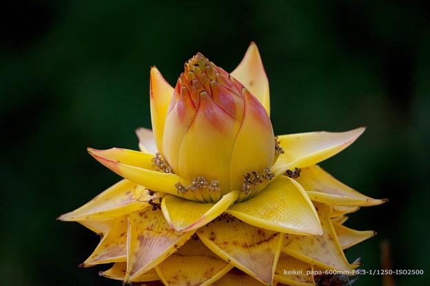 雲南地湧金蓮(ウンナンチユウキンレン)の花