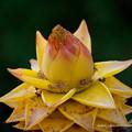 Photos: 雲南地湧金蓮(ウンナンチユウキンレン)の花
