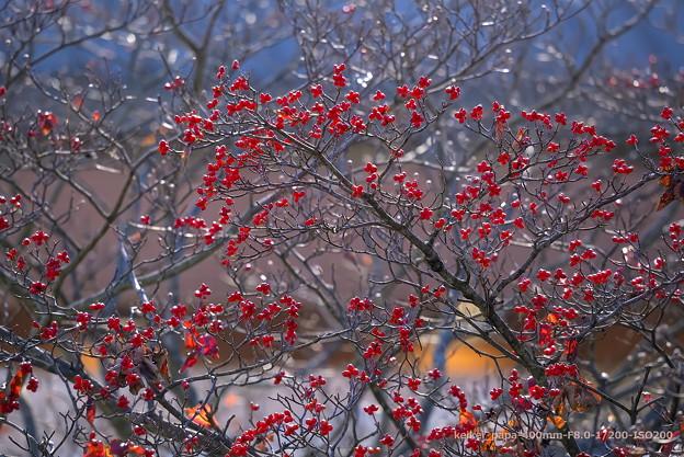 花水木の赤い実