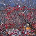 Photos: 花水木の赤い実