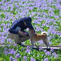 Photos: 本薬師寺跡のホテイアオイと愛犬散歩