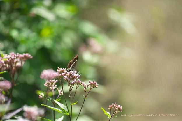 フジバカマとサカハチチョウ