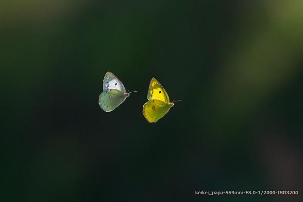 モンキチョウのタンデム飛行