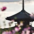 Photos: 法起寺三重塔とコスモス