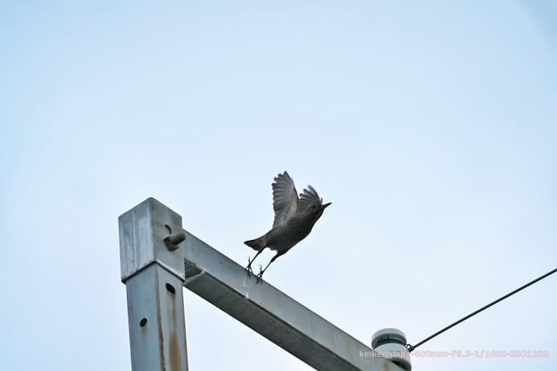 イソヒヨドリ(♀)の飛び出し