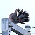 キジバトの羽根扇