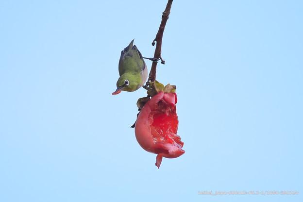 柿とメジロ