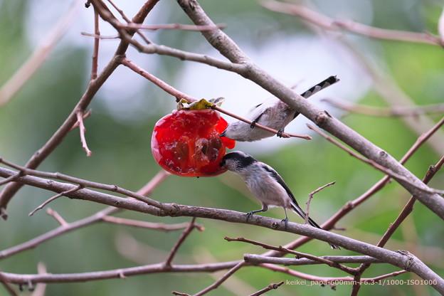 柿にエナガが2羽