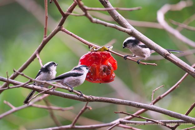 柿にエナガが3羽