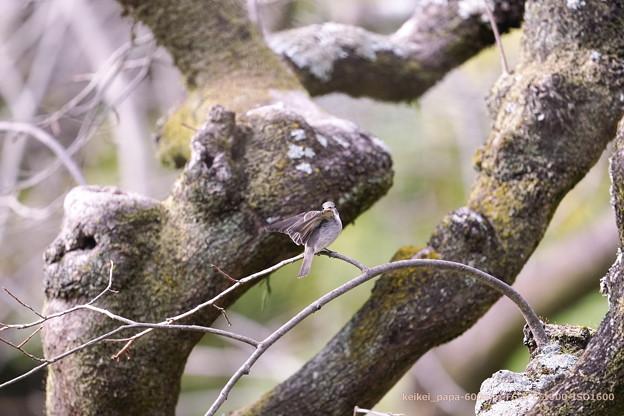コサメビタキ:古木の小枝で