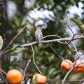 コサメビタキ:柿に止まってふり向きポーズ