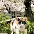 Photos: 桜猫1