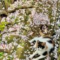 Photos: 桜猫2