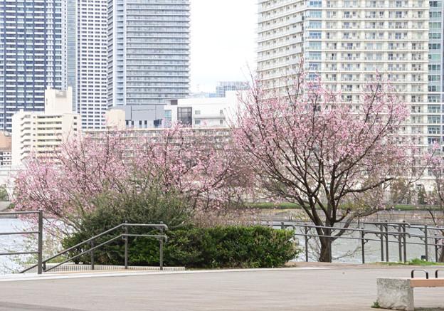 二度咲き桜