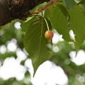 さくらんぼ 陽光桜