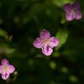 Photos: ピンクの小さいお花