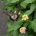 アゲハ蝶と