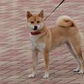 Photos: 笑顔もかわいい柴犬ちゃん