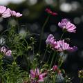 Photos: 秋桜