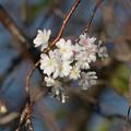 Photos: 九月桜