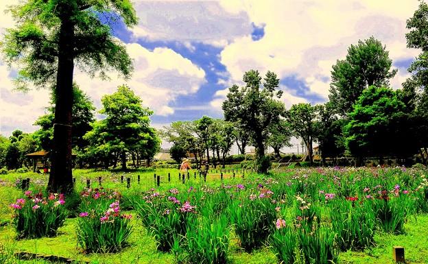 都立水元公園(花菖蒲)