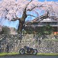 250TR 桜