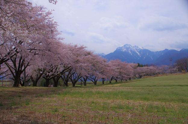 桜並木と甲斐駒ヶ岳