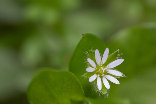 緑繁縷[ミドリハコベ]