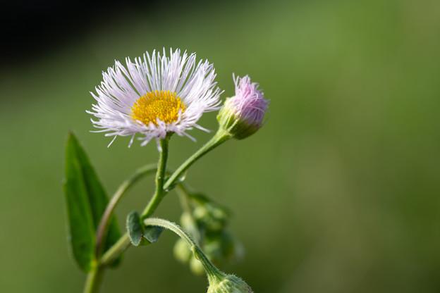 春紫苑[ハルジオン]