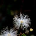 白花合歓木