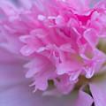 立葵八重咲