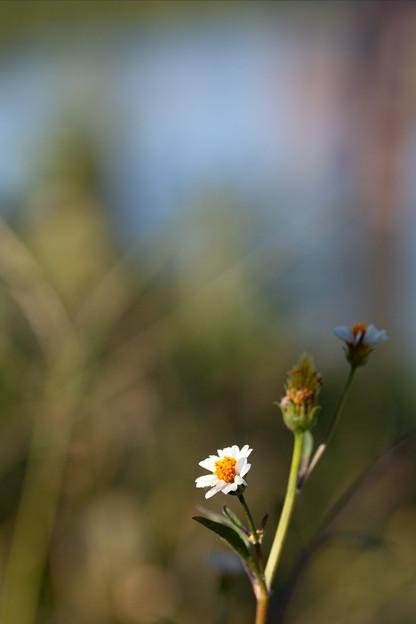 小白の栴檀草