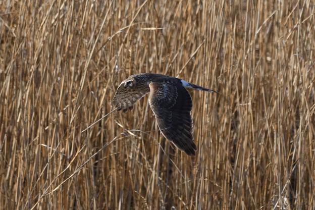 葦原を飛ぶハイイロチュウヒ(♀)