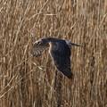 Photos: 葦原を飛ぶハイイロチュウヒ(♀)