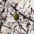 早咲き桜メジロ