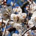 Photos: 梅にハチ