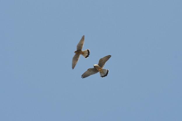 チョウゲンボウ雌雄ランデブー飛行