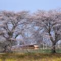 桜・菜の花・スペーシア