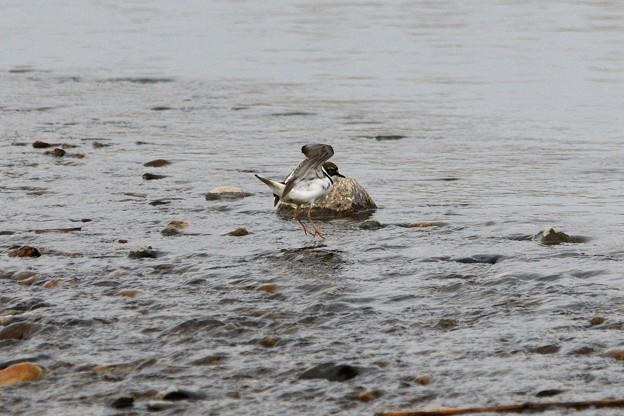 川面にコチドリ